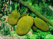 El árbol 'jackfruit' puede producir hasta 250 frutos en su mejor época